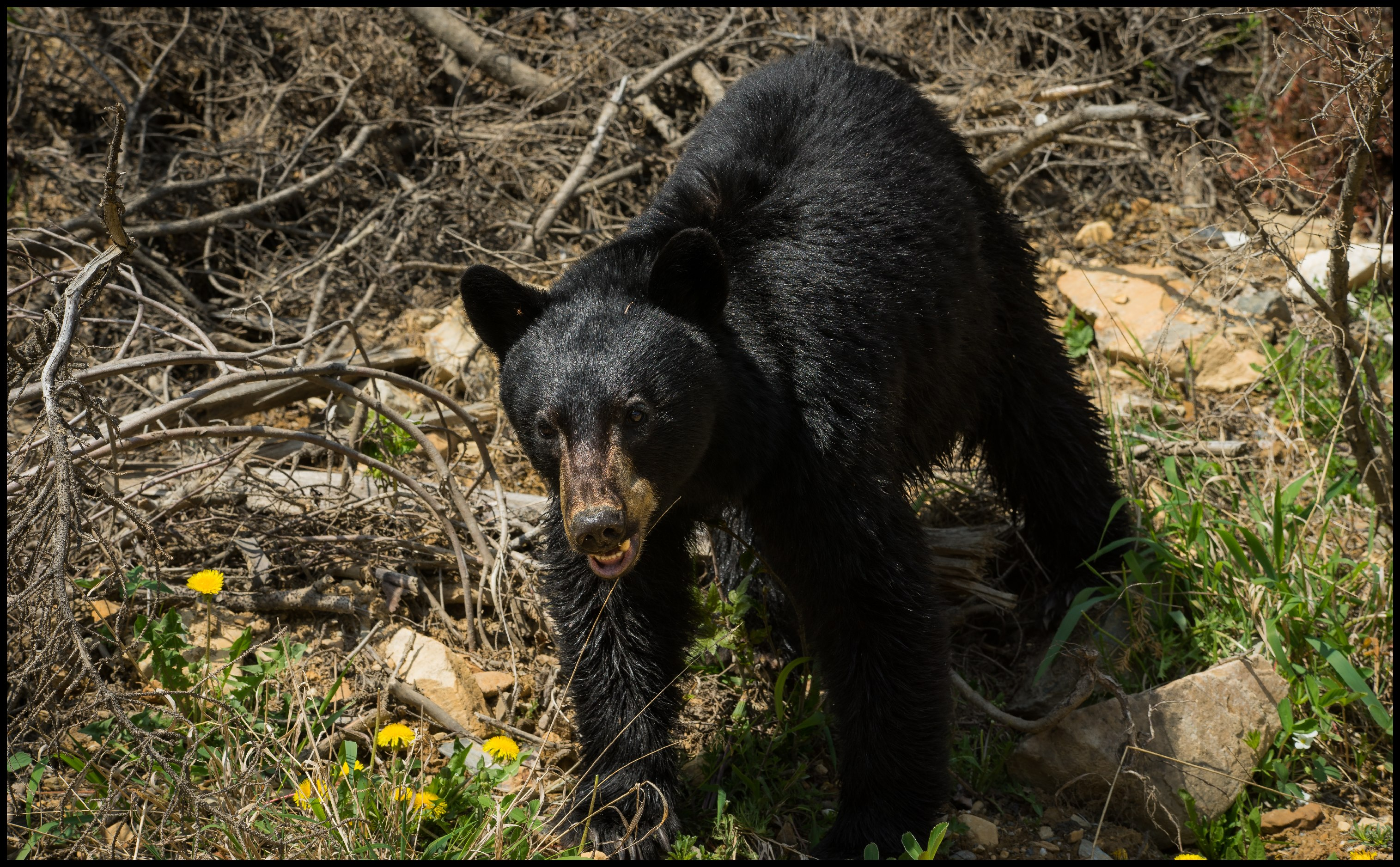 Young Black bear on the way to Bugaboo Provincial Park