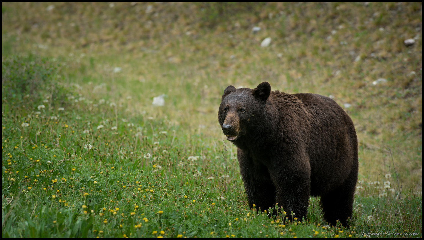 Black bear in Kootenay Sony A7 Canon FD 80-200 L