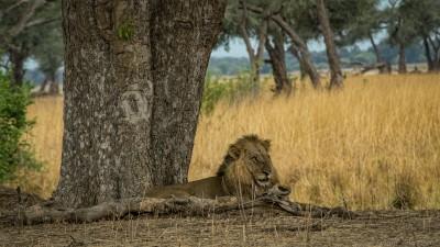 Nyamepi Lion, Mana Pools Panthera leo bleyenberghi, Hurungwe, Nyamepi