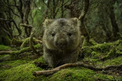 Wombat Weindorfer Forest Cradle Mountain Tasmania Australia