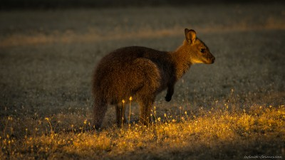 Bennett's Wallaby, Narawntapu Macropus rufogriseus