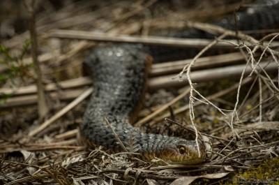Tasmanian Lowland Copperhead snake, Narawntapu Austrelaps superbus