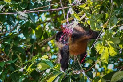 Geoffroy's Spider Monkey, Tortuguero Ateles geoffroyi