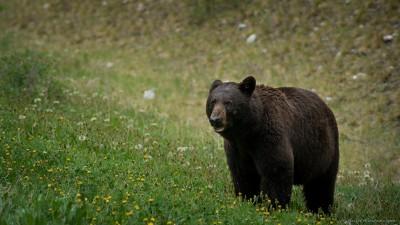 American black bear, Kootenay Ursus americanus, Kootenay