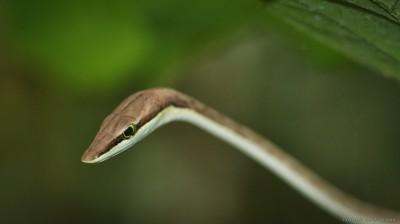 Brown Vine Snake, Costa Rica Oxybelis aeneus