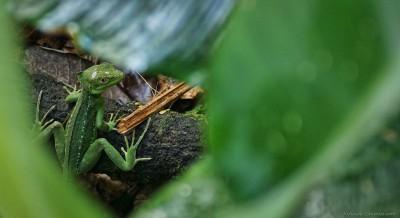 Basilisk Lizard, Refugio Gandoca-Manzanillo Agalychnis callidryas