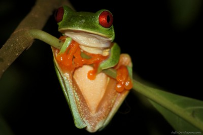 Red-eye Tree Frog - awake Agalychnis callidryas, Punta Cocles