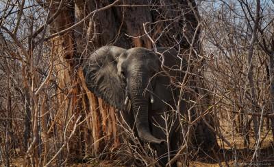 First wild elephant ever Loxodonta africana, Zimbabwe