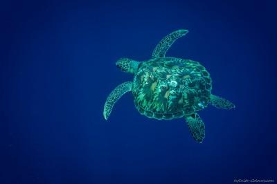Green sea turtle, Bunaken (II) Chelonia mydas