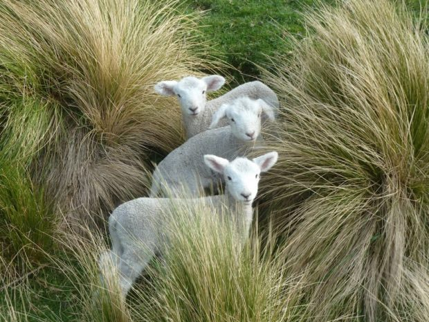 3-lambs.JPG