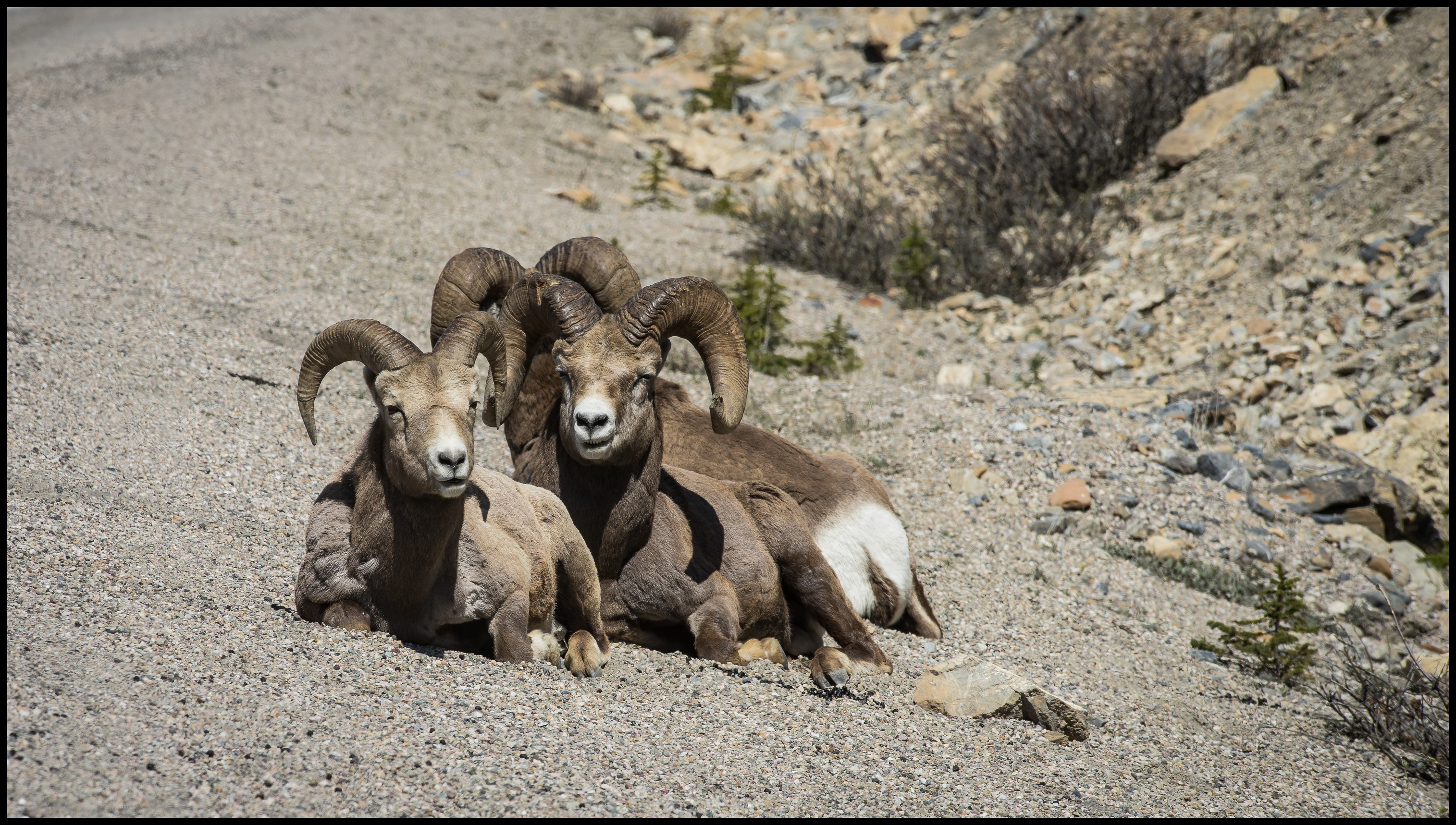 Bighorn sheep on the Icefield Parkway Sony A7 Canon FD 80-200 L