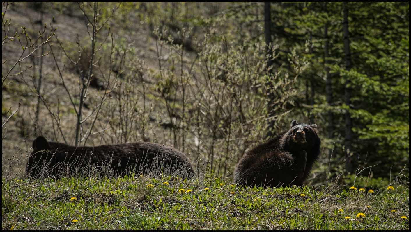 Juvenile brown bear and momin the area around Sasketchewan Crossing