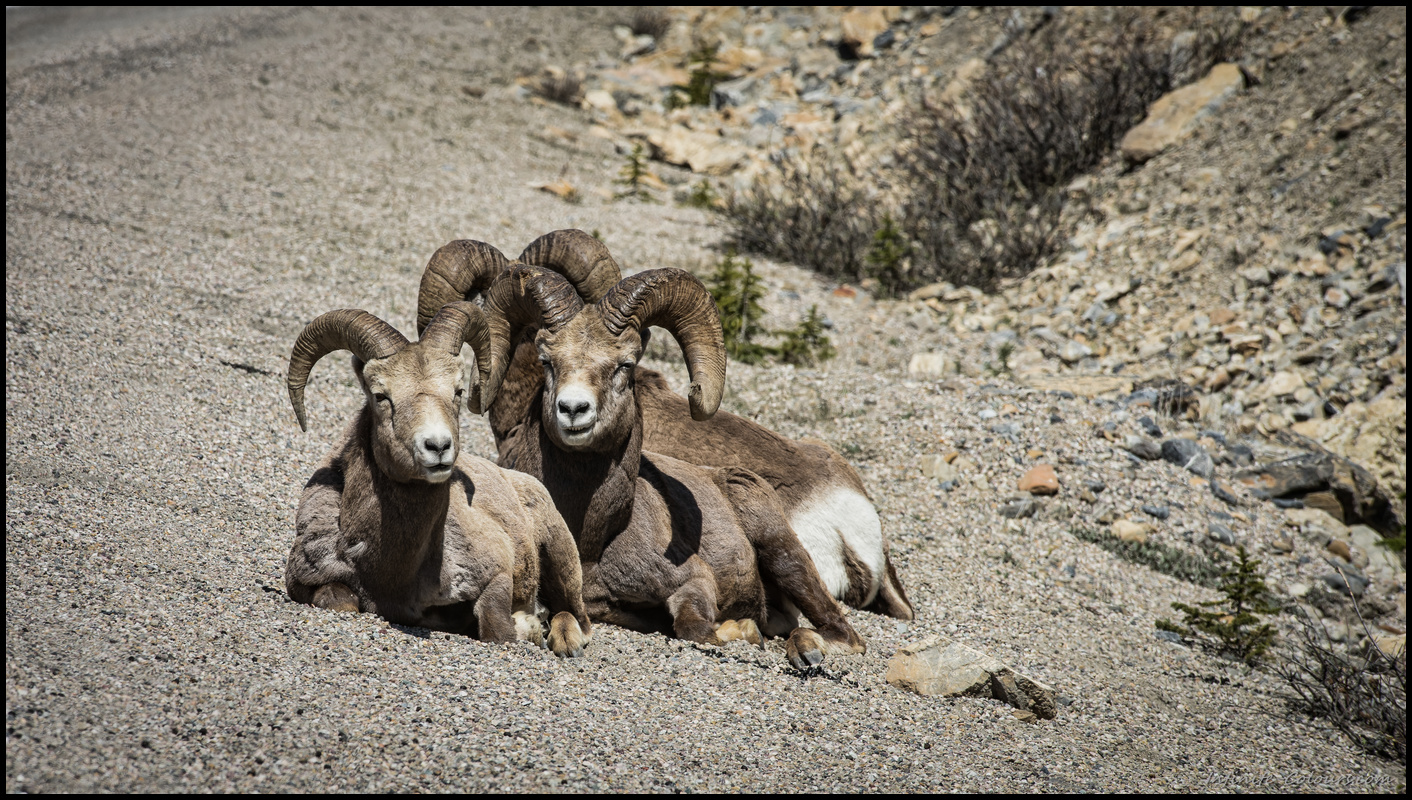 Bighorn sheep on the Icefield Parkway