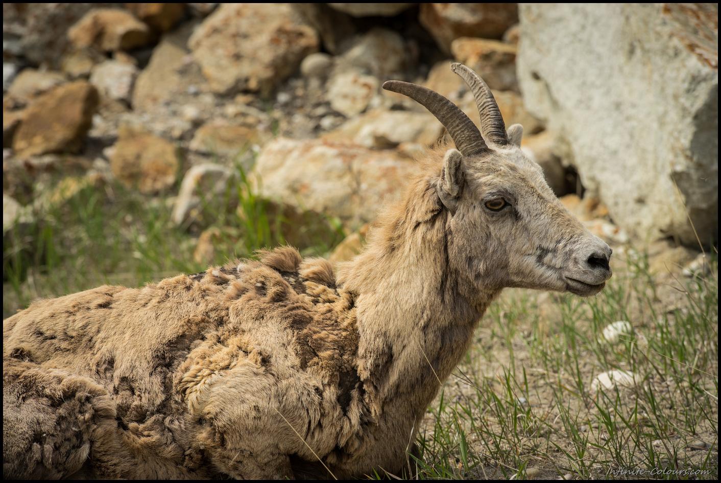 Female Bighorn Sheep, Jasper
