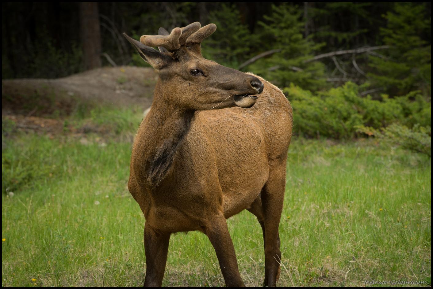 Young elk around Jasper