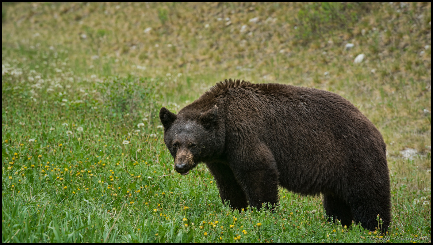 Black bear in Kootenay Sony A7 Canon FD 80-200 L