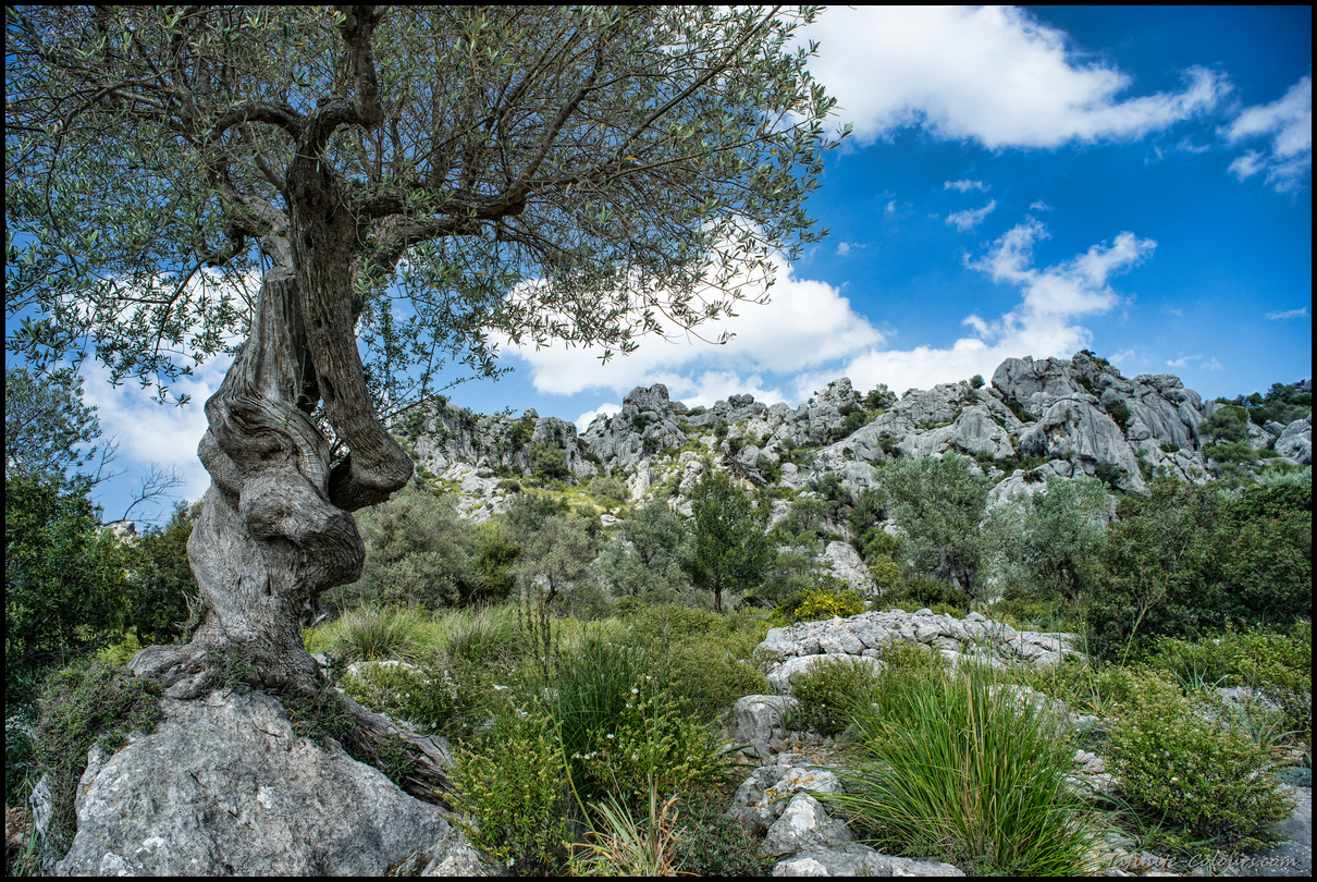 Vinyes Mortitx hosts some incredibly gnarly olive trees