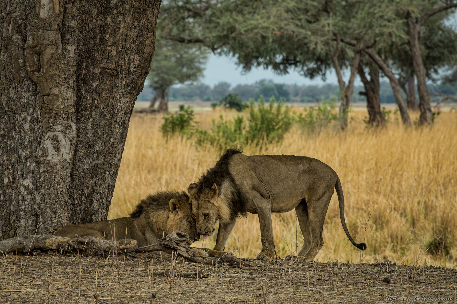 Mana Pools Zimbabwe lion pride lion brothers king of zimbabwe nyamepi campground