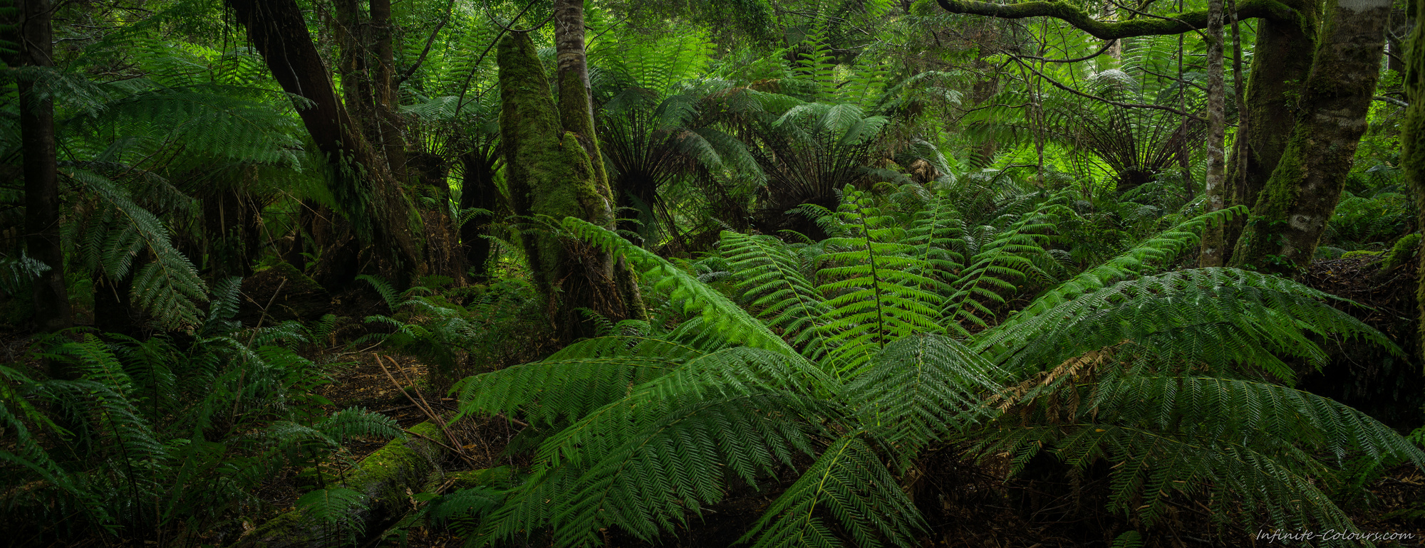 Tasmania temperate rainforest tree ferns, Styx River, Mount Field National Park