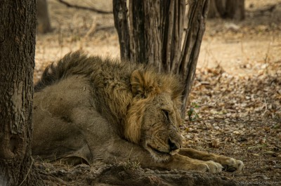 Power on standby Mana Pools lion pride