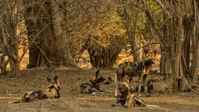 Wild Dogs, Mana Pools Lycaon pictus