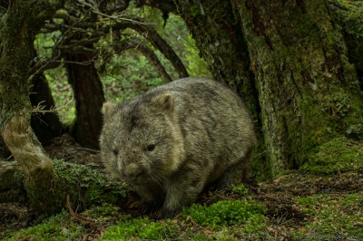 Tasmanian Wombat, Weindorfers Forest Vombatus ursinus tasmaniensis