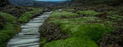 Cradle mountain cushion plants Tasmania, Australia