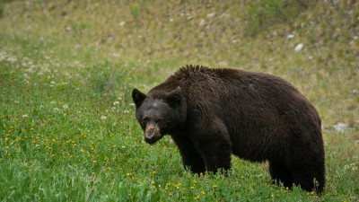 American Brown bear, Kootenay Nationalpark, British Columbia, Canada