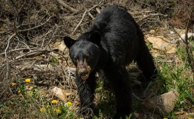 American black bear, Bugaboo Provincial Park Ursus americanus, Bugaboo