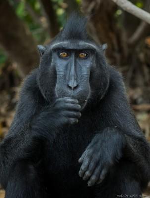 Black Crested Macaque, Tangkoko beach Macaca nigra