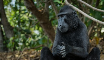 Black crested macaque Sulawesi Tangkoko beach photography