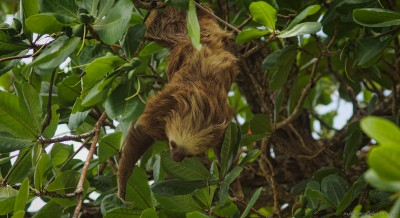 Hoffmann's two-toed sloth, Cahuita Choloepus hoffmanni