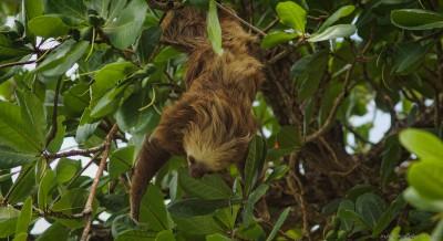 Hoffmann's two-toed sloth, Cahuita Choloepus hoffmanni