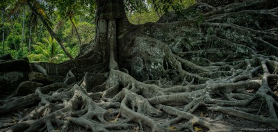 Aerial roots of a giant Banyan tree at Goa Gaja temple, Ubud Bali, Indonesia
