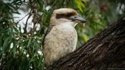 Laughing Kookaburra, Meelup Park Dacelo novaeguineae, Western Australia