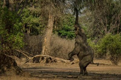 Elephant feeding on acacia tree Loxodonta africana, Mana Pools