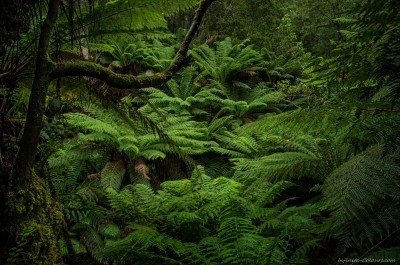 tree fern treefern forest melba gully victoria australia